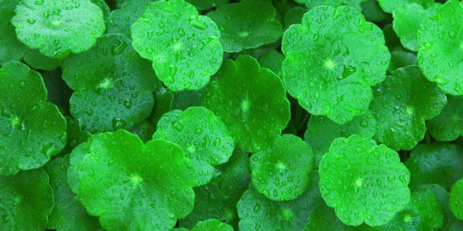 centella asiatica gotu kola bitkisi nedir ne için kullanılır